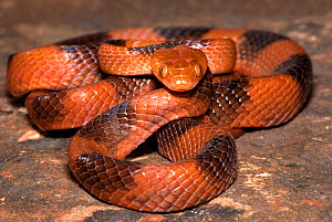 African tiger snake (Telescopus semiannulatus) captive, from Africa - Michael D. Kern