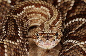 South American rattlesnake (Crotalus durissus cumanensis) captive, from Venezuela and Colombia - Michael D. Kern