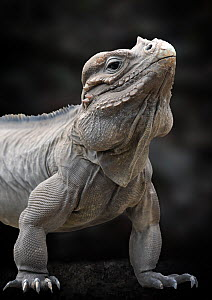 Rhinoceros iguana (Cyclura cornuta) captive, from Hispaniola, Caribbean, Vulnerable species  -  Michael D. Kern