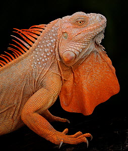 Common iguana (Iguana iguana) albino, captive, from Central and South America  -  Michael D. Kern