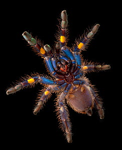 Gooty Sapphire Ornamental Tree Spider (Poecilotheria metallica), ventral view. captive, from Asia, critically endangered.  -  Michael D. Kern