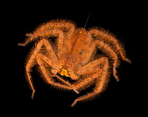Malaysian Orange Huntsman, (Thelcticopis modesta) Captive, from South East Asia - Michael D. Kern