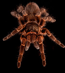 Brazillian tarantula (Vitalius dubius) captive, from South America  -  Michael D. Kern