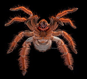 Columbian Giant Redleg Tarantula, (Megaphobema robustum) ventral view, captive from South America  -  Michael D. Kern