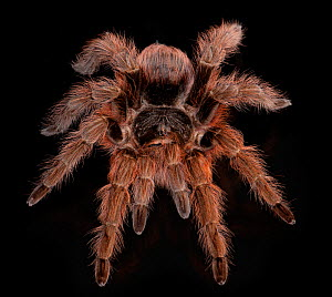 Brazilian Red Tarantula, (Nhandu carapoensis) captive from South America  -  Michael D. Kern