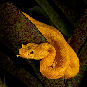 Eyelash Viper (Bothriechis schlegelii), captive, from Central and South America  -  Michael D. Kern