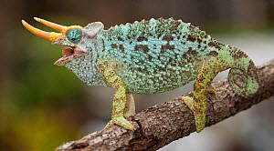 Dwarf Jackson's chameleon (Trioceros jacksonii merumontanus) with mouth open, captive from Africa  -  Michael D. Kern