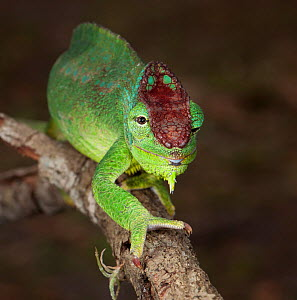 Northern four horned chameleon (Trioceros quardicornis gracilior) captive from Africa  -  Michael D. Kern