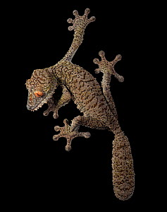 Leaf tailed gekco (Uroplatus fimbriatus) captive from Madagascar - Michael D. Kern