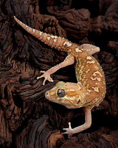Madagascar Ground Gecko / Big headed gecko(Paroedura Pictus) captive, from Madagascar  -  Michael D. Kern