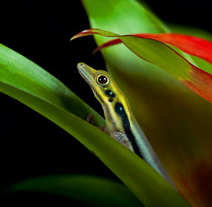 Yellow Headed Day Gecko (Phelsuma klemmeri) between leaves captive from Madagascar  -  Michael D. Kern