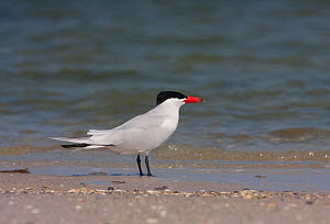 Caspian tern (Hydroprogne caspia) in breeding plumage, Tampa Bay, Florida, USA, April  -  Barry Mansell