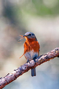Eastern bluebird (Sialia sialis) female perched with nesting material, North Florida, USA - Barry Mansell