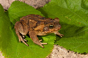 Giant / Cane toad (Rhinella marina) introduced species in South Florida, USA.  -  Barry Mansell