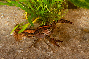Hatchet crayfish (Procambarus kilbyi) striped phase,  Bay Co, Florida, USA. Controlled conditions  -  Barry Mansell