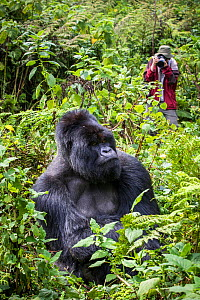 Mountain gorilla silverback, male  called Munyinya,  (Gorilla beringei) with tourist taking photo, part of Hirwa Group, Volcanoes National Park, Rwanda - Christophe Courteau