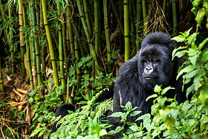 Silverback Mountain gorilla (Gorilla beringei) in the bamboo forest, this is Munyinya the leader of Hirwa group, Sabyinyo volcano, Volcano National Park, Rwanda - Christophe Courteau