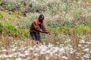 Man harvesting Pyrethrum, which refers to several Old World plants of the Chrysanthemum genus which are cultivated as ornamentals for their showy flower heads. Pyrethrum is also the name of a natural...  -  Christophe Courteau