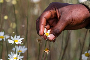 Close up of man's hand harvesting Pyrethrum, which refers to several Old World plants of the Chrysanthemum genus which are cultivated as ornamentals for their showy flower heads. Pyrethrum is also the...  -  Christophe Courteau