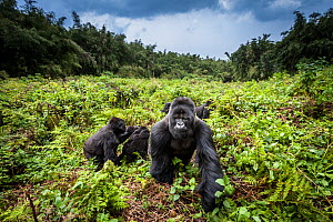 Mountain gorillas (Gorilla beringei) Hirwa group led by the silverback dominant male Munyinya, Volcanoes National Park, Rwanda, elevation 2610 m - Christophe Courteau