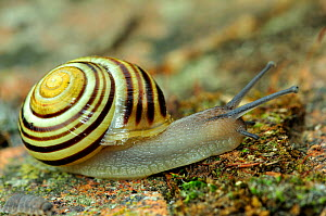 Yellow banded / Grove snail (Cepaea nemoralis) five banded, Dorset, UK, May - Colin Varndell