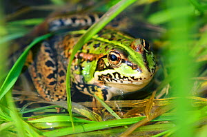 Marsh frog (Rana ridibunda / Pelophylax ridibundus) in breeding season, Dorset, UK, May  -  Colin Varndell