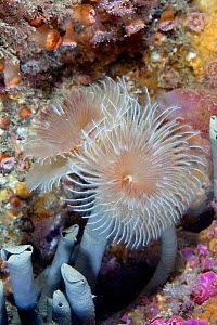 Tube worm / Double sprial worm (Bispira volutacornis) Channel Islands, UK June  -  Sue Daly