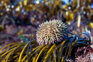Green sea urchin (Psammechinus miliaris) Channel Islands, UK March  -  Sue Daly