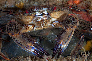 Velvet swimming crab (Necora puber) close up, Channel Islands, UK July  -  Sue Daly
