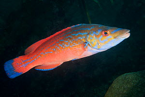 Cuckoo wrasse (Labrus mixtus) male profile, Channel Islands, UK August  -  Sue Daly