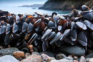 Goose barnacles (Lepas anatifera) on shore, at low tide, Channel Islands, UK January  -  Sue Daly