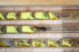 Red mason bee (Osmia rufa) female laying egg on pollen / nectar mix in egg cell of artificial bee nesting box, Surrey, UK, April - Kim Taylor