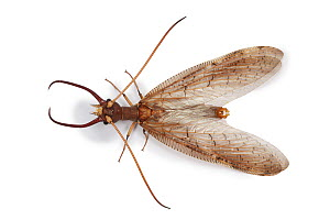 Dobsonfly (Corydalus luteus) male, from Costa Rica  -  Kim Taylor