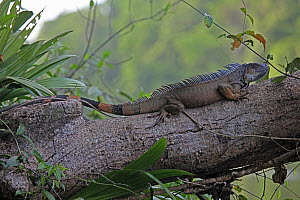 Spiny / Black Iguana (Ctenosaura similis / Iguana negra) adult resting on branch, Costa Rica  -  Kim Taylor