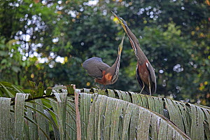 Bare-throated tiger heron (Tigrisoma mexicanum) pair displaying, Costa Rica  -  Kim Taylor