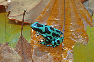 Black-and-green poison dart frog (Dendrobates auratus) in rainforest, Costa Rica  -  Kim Taylor