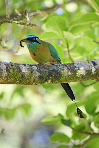 Blue-crowned motmot (Momotus momota) perched on branch with caterpillar, Costa Rica  -  Kim Taylor