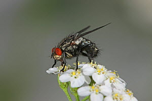 Grey flesh fly (Sarcophaga bullata) feeding on Yarrow flowers, Surrey, England, August - Kim Taylor