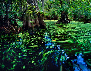 Cypress dome swamp with water surface covered with water-spangles and duckweed, Big Cypress Seminole Indian Reservation, Florida Everglades, USA - Jack Dykinga