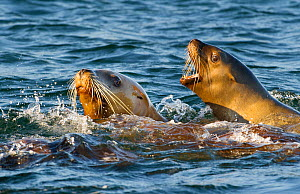 Steller sealions (Eumetopias jubatus) in sea off  Douglas Chanel's coastal islands, British Columbia, Canada - an area threatened by oil carrying super-tankers  -  Jack Dykinga