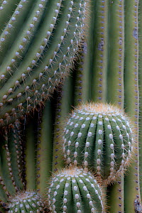 Twisted and emerging limbs of Saguaro cacti (Carnegiea gigantea) Sonoran Desert near Tucson, Arizona, USA - Jack Dykinga