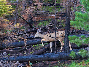 Mule deer (Odocoileus hemionus) in burnt forest, devastation of the 'Wallow Fire' with life returning after seasonal rain, Apache-Sitgreaves National Forest, Arizona, USA 2011 - Jack Dykinga