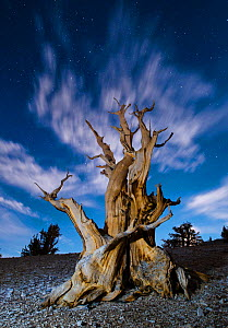 Gnarled ancient Bristlecone pine (Pinus longaeva) lit by the full moon and star light, White Mountains Patriarch Grove, Inyo National Forest, California, USA - Jack Dykinga