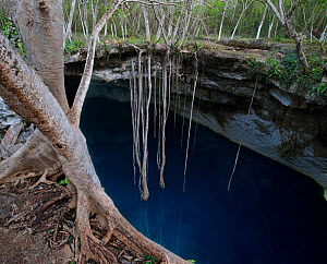 Cenote Noh-Moson, is ringed with ficus trees with ten meter long roots reaching toward the blue water below, state of Yucatan, Mexico - Jack Dykinga