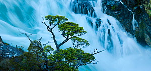 Cohigue trees (Nothofagus sp) along shoreline at Rio Pascua headwaters gorge, where Lago O'Higgins pours through narrow canyon, Aisen Province, Chile  -  Jack Dykinga