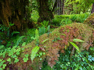 Big leaf maple trees drapped in moss, wood ferns and sword ferns in the temperate rain forest of the Hoh, Olympic National Park, Washington, USA - Jack Dykinga