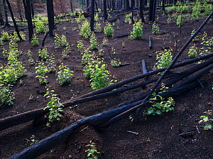 Aspen saplings growing in burnt forest, life returning after seasonal rains, Apache-Sitgreaves National Forest devastation of the 'Wallow Fire', Arizona, USA August 2011 - Jack Dykinga