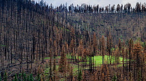 Life returning after seasonal rains to burnt forest, Apache-Sitgreaves National Forest devastation of the 'Wallow Fire', Arizona, USA August 2011  -  Jack Dykinga
