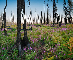 Charred remains of Aspen-fir forest near Hannagan's Meadow, at sunset with fireweeds growing in profusion amidst felled trees, Apache-Sitgreaves National Forest, Arizona, USA September 2011 - Jack Dykinga