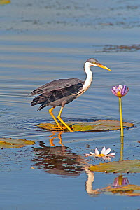 Pied heron (Egretta picata) standing on a Giant water lily (Nymphaea gigantea) pad, Parry Lagoons Nature Reserve, Wyndham, Western Australia, July  -  Steven David Miller